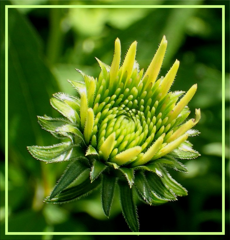 Cone Flower in the process of blossoming (1) Photo by Thomas Peace c. 2016