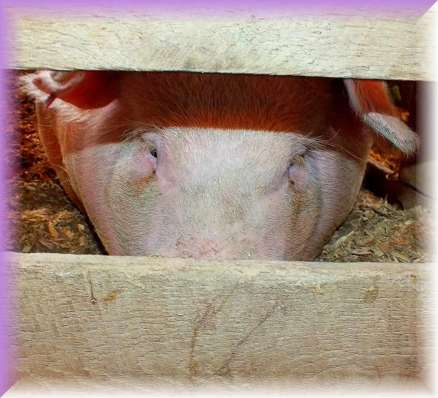 Miss Piggy (1) Photo by Thomas Peace c. 2016