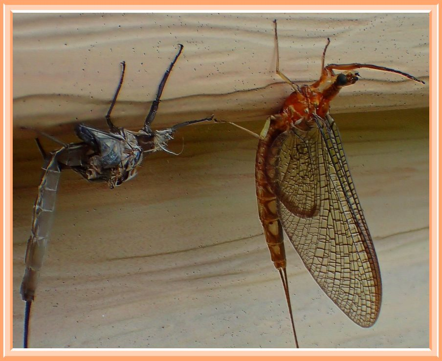 Mayfly next to its empty exoskeleton. (1) Photo by Thomas Peace c. 2016