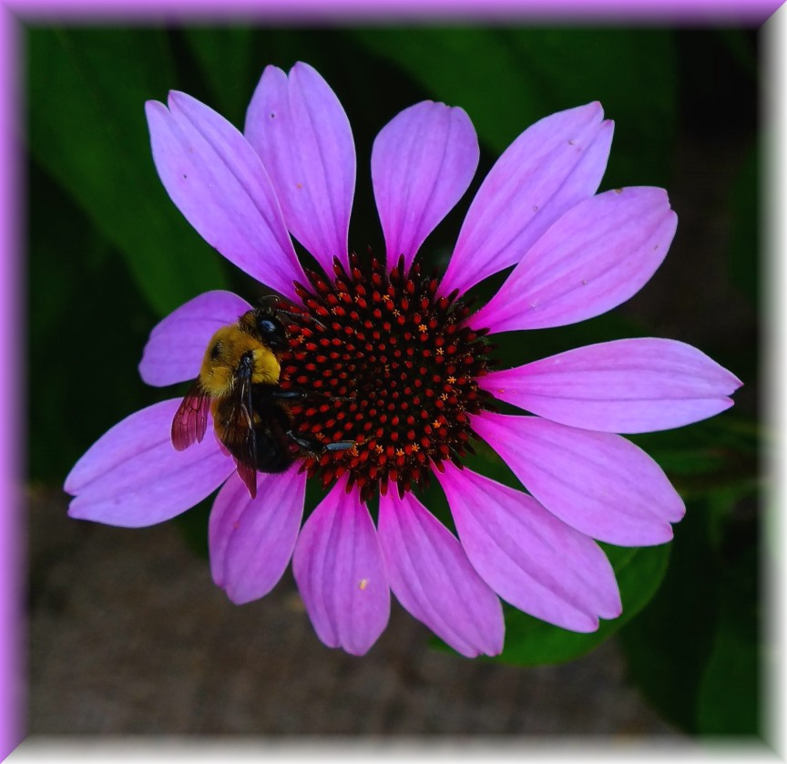 Bumble Bee on Purple Cone Flower (1) Photo by Thomas Peace c. 2016