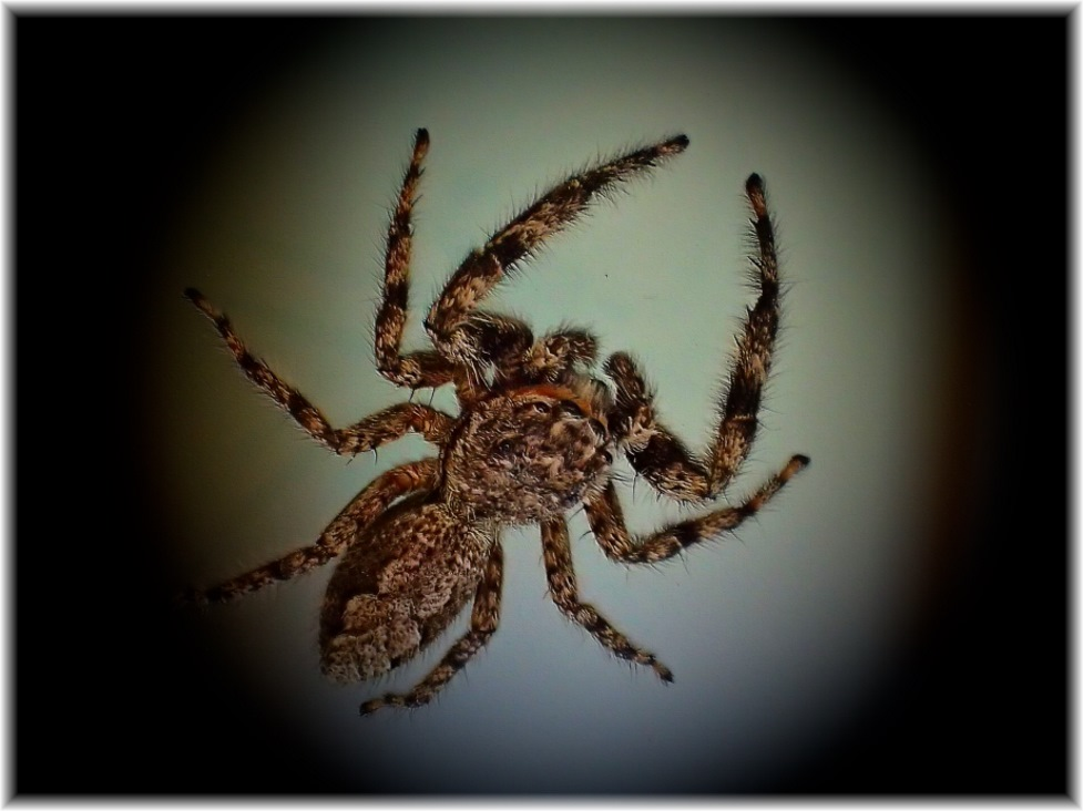 Jumping Spider (2) Photo by Thomas Peace c. 2016