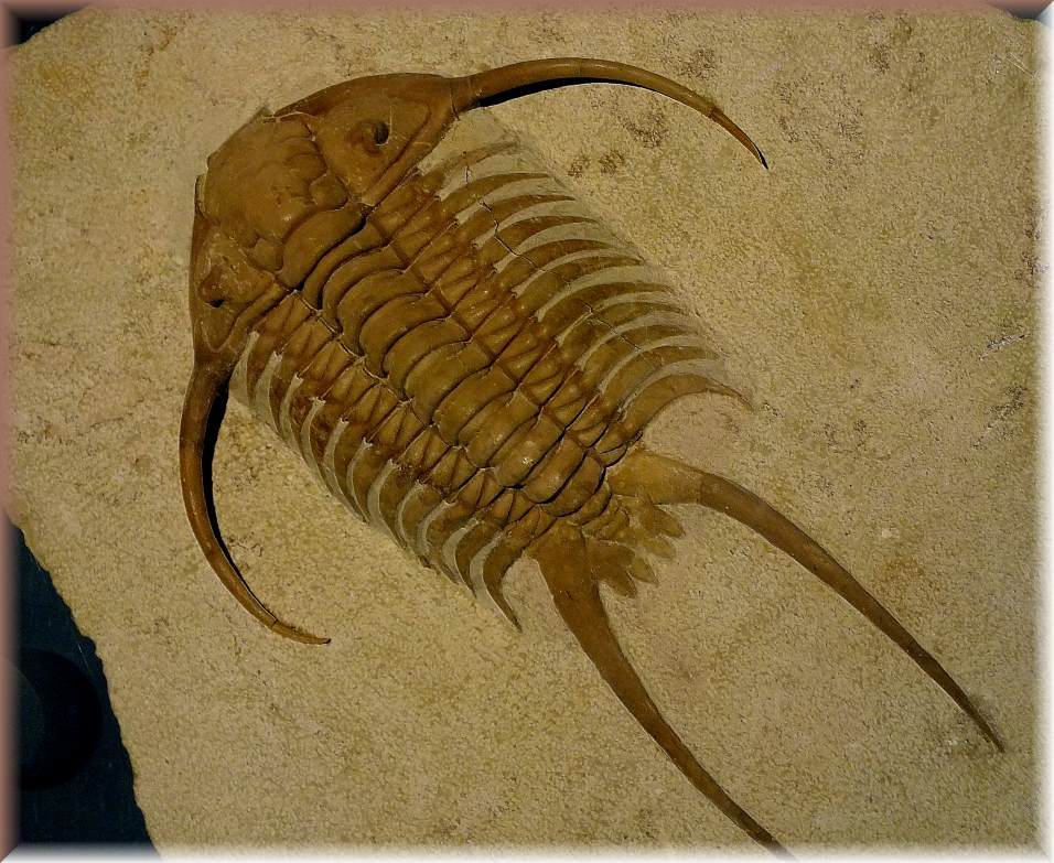 Trilobite Fossil Cheirurus sp., middle Ordovician age (1) Photo by Thomas Peace c. 2016