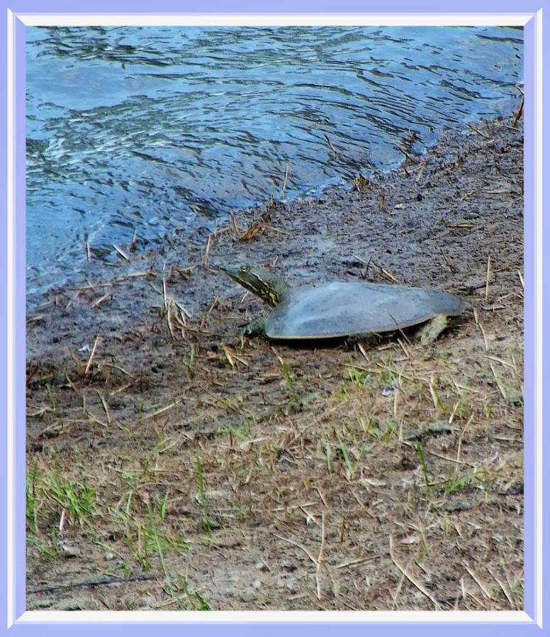 Softshell Turtle. Photo by Thomas Peace c. 2016