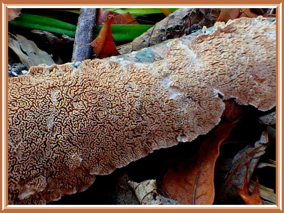 Fungus on Fallen Oak (1) Photo by Thomas Peace c. 2016
