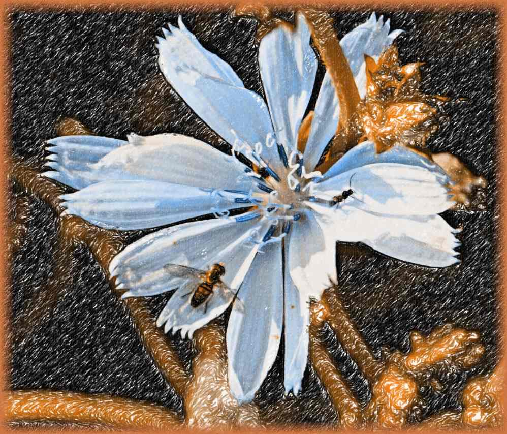 Chicory Bloom with Insect Visitors (2) Photo by Thomas Peace c. 2017
