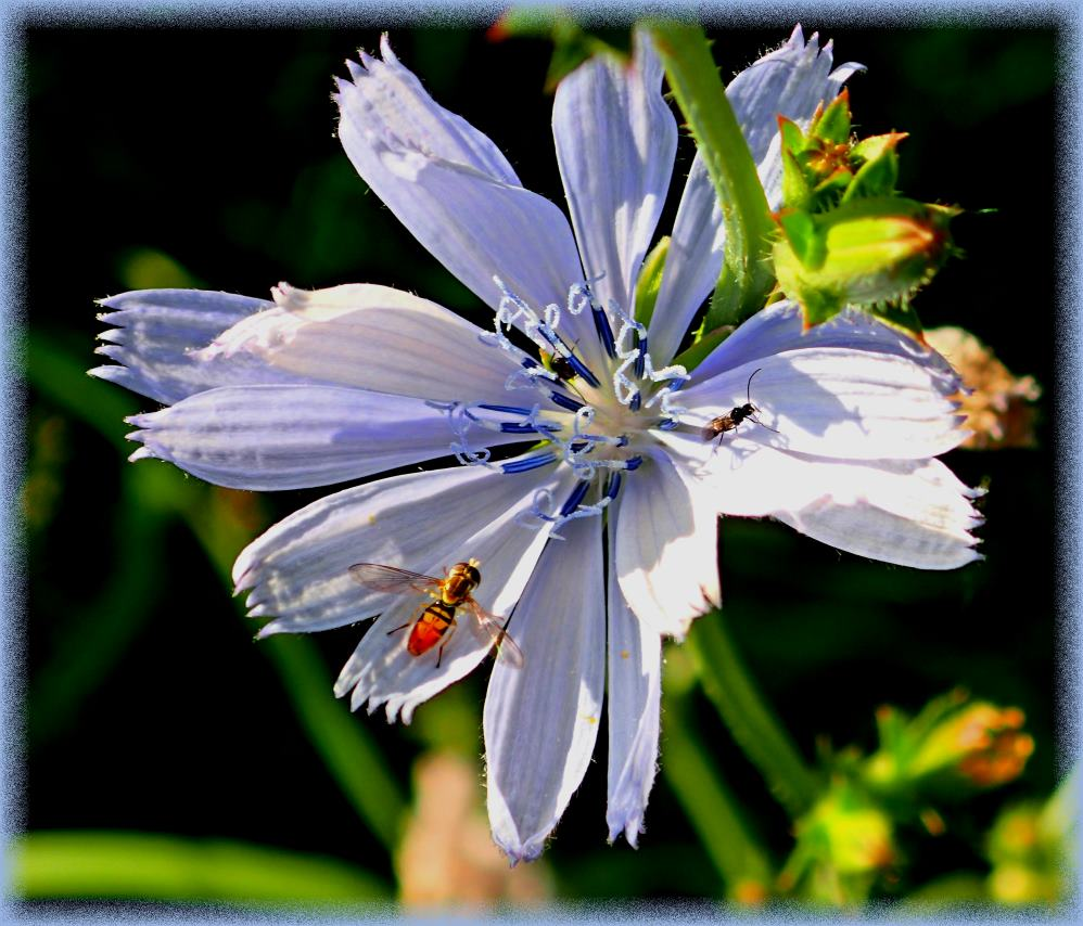 Chicory Bloom with Insect Visitors (1) Photo by Thomas Peace c. 2017