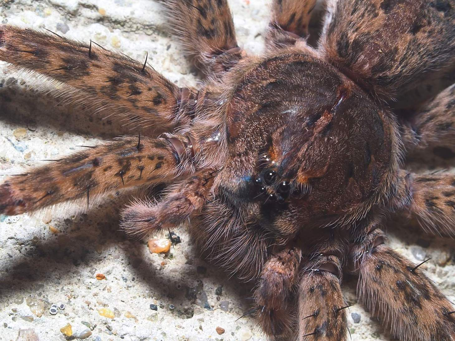 Fishing Spider (Note the Leopard-like spots on the legs of this beautiful animal!) ... Photo by Thomas Peace c. 2021