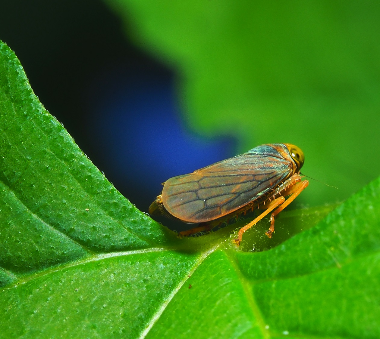Gazing Leafhopper... there are over 20,000 species of leafhopper worldwide. Photo by Thomas Peace c. 2021