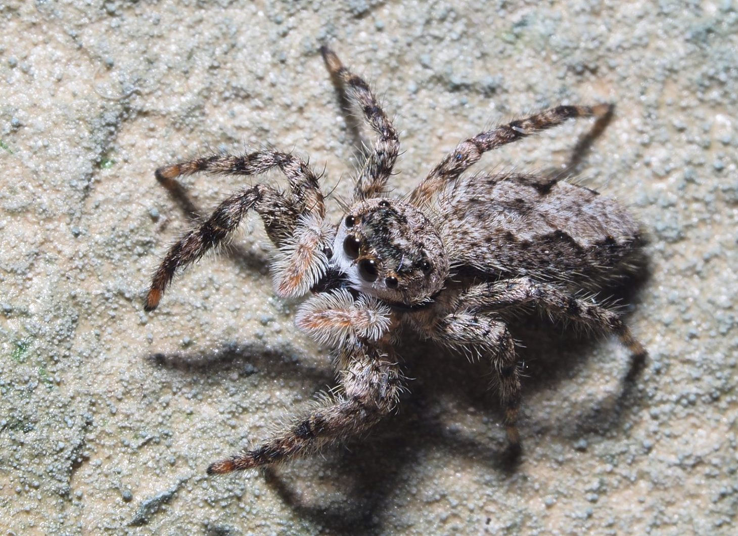Halloween Jumping Spider at the Optometrist's ... Photo by Thomas Peace c. 2021